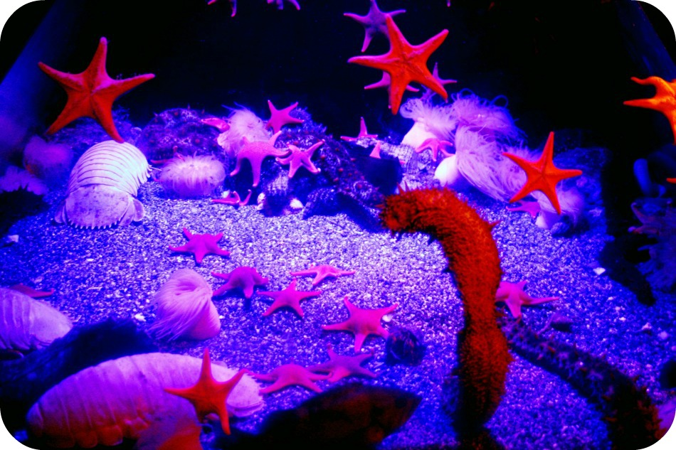 Starfish and a sea cucumber at The Aquarium of the Pacific